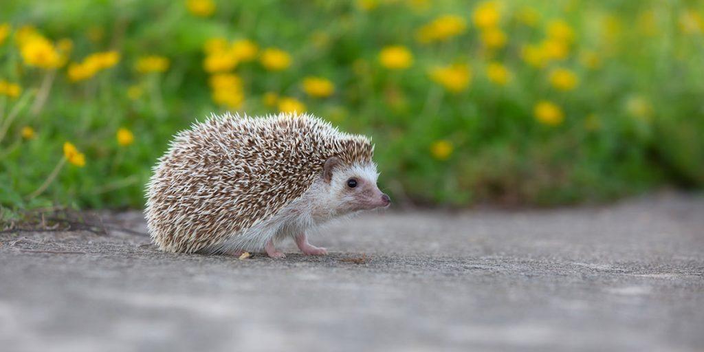 Was tun, wenn der Igel auf die Straße rennt?